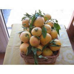 PAMPLEMOUSSE (500 gr)